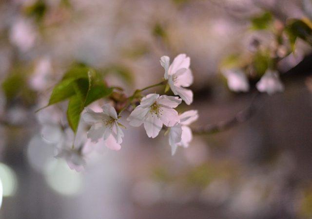 夜になると雰囲気が一変!山口県で夜桜のおすすめスポット3選