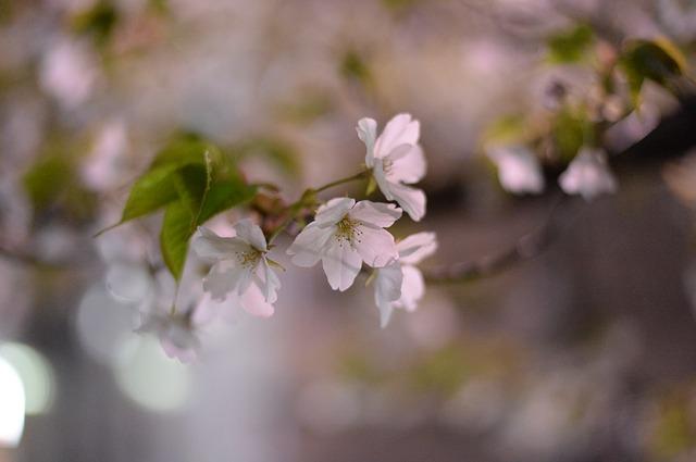 長い期間楽しめる!茨城県の桜の名所3選